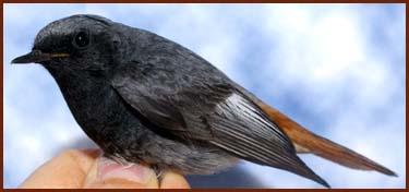 Oiseau en main rougequeue noir gaston gast for Oiseau queue rouge