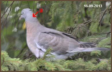bébé pigeon ramier